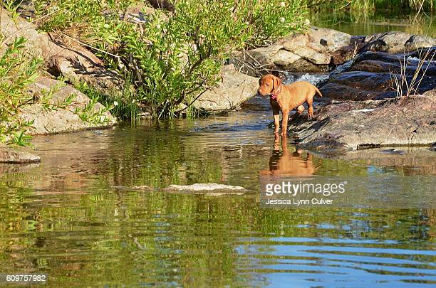 Vizsla puppy stands at the edge of a creek looking in