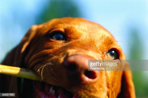 Vizsla Puppy with Stick