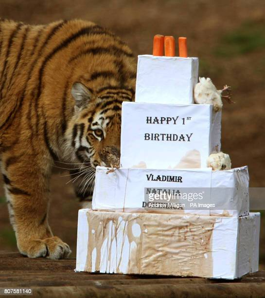Vladimir a oneyearold Amur tiger shows his interest in a first birthday treat Amur tigers Vladimir Natalia and Domininca celebrated their first...
