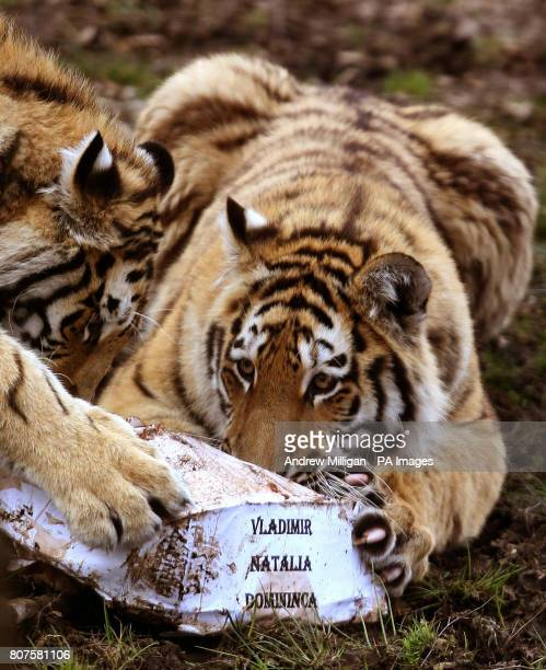 Vladimir and Domininca show their interest in a first birthday treat Amur tigers Vladimir Natalia and Domininca celebrated their first birthday with...