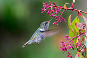 Female Volcano Hummingbird (Selasphorus flammula) in the high mountains of Costa Rica.  This small hummingbird (7.5 cm or 3 in) is found only above 1850 m (6000 ft) to the tops of the highest mountain