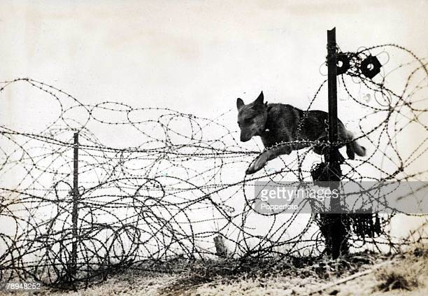 Volume 2 Page 124 Picture 9 World War One 1914 1918 Western Front Flanders Belgium 'Wolf' the Alsatian dog jumping over barbed wire entanglements on...