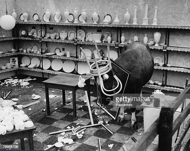 Volume 2 Page 130 Picture 2 A Bull in a China Shop Malvern Worcester England 5th July A bull has a chair on his horns and a picture frame around his...