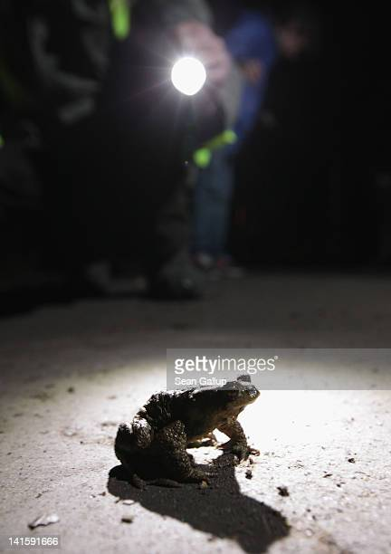 A volunteer approaches a male toad to pick him up from a road near Berlin on March 18 2012 in Gueterfelde Germany Volunteers from Germany's NABU...
