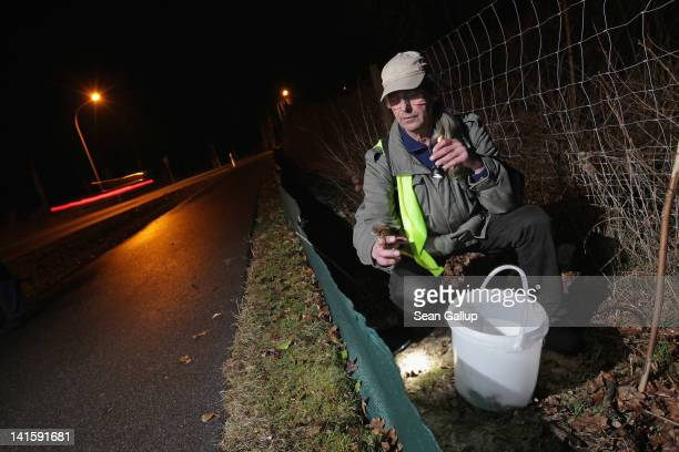Volunteer Burghard Sell collects toads along an amphibian fence next to a road near Berlin on March 18 2012 in Gueterfelde Germany Volunteers from...
