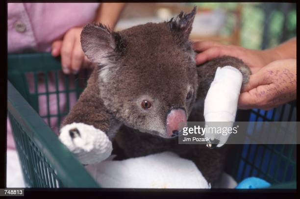 A volunteer cares for a koala injured in a bush fire December 15 1997 in Coonabarabran five hundred kilometers from Sydney Australia The bush fire...