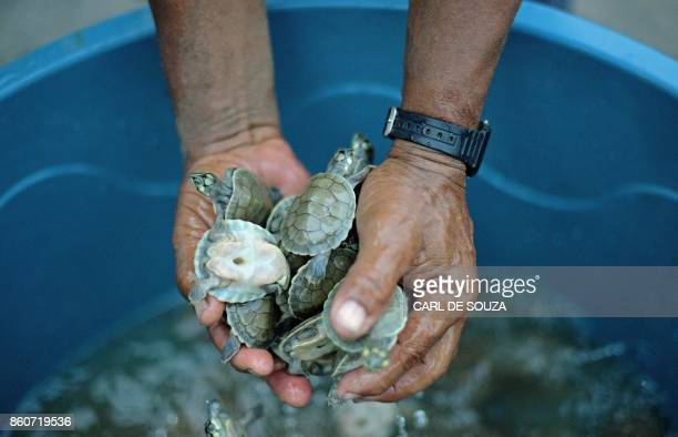 A volunteer conservationist holds recently hatched baby turtles near Volta do Bucho in the Western Amazon region on September 19 2017 A team of local...