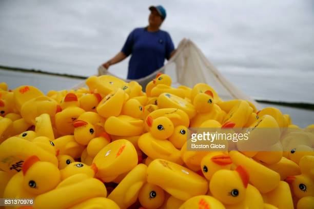 Volunteer Emily Fink uses a net to corral the 5876 rubber ducks before the Allens Pond Duck Derby on Barney's Joy Farm in South Dartmouth MA on Aug...