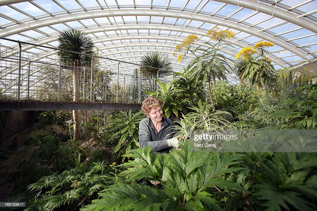 Volunteer gardener Sonia Pritchard prunes some plants inside the Norman Foster designed Great Glasshouse at the National Botanic Garden of Wales on March 5, 2013 near Carmarthen, Wales. As the weather improves, staff at the gardens - which opened in 2000, stretches over 500 acres and contains the largest single span glasshouse in the world - are gearing up for the arrival of the spring season.