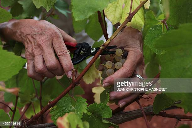A volunteer harvests a vineyard of 'Abbaye de Lerins' on Agust 26 at the Saint Honorat island in the bay of Cannes southeastern France AFP PHOTO /...
