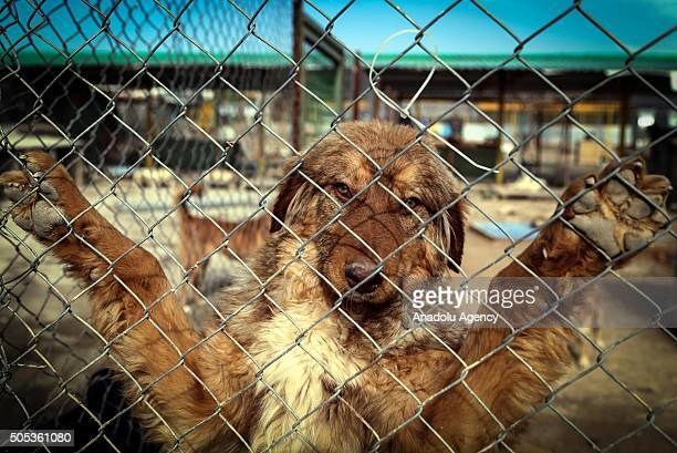 Volunteer Iranian strokes a dog in animal shelter which was donated by an animal lover in the Hashgerd district of Karaj Iran on January 17 2016 As...