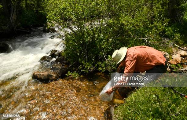 Volunteer Keith Greenwell with Trout Unlimited releases 18 yearling Greenback Cutthroat into a small pool in Herman Gulch trail on July 17 2017 in...