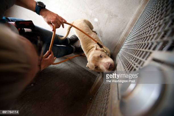 Volunteer Kim Kirkland prepares to take dog 'Mr Salt' out for a walk at the Best Friends Animal Society shelter on Thursday April 27 2017 in Mission...