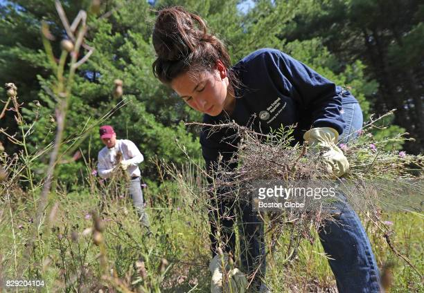 Volunteer Theresa Meehan of Sudbury picks up spotted knap weed as she and other teens ranging from 14 to 18 years old volunteer in the New England...