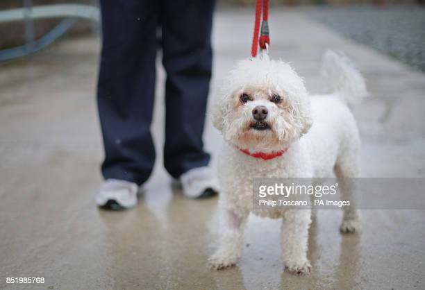 Volunteer Tracey Dawson walking Habibi a Bichon Frise in the dog walking area at Battersea Dogs and Cats Home in London