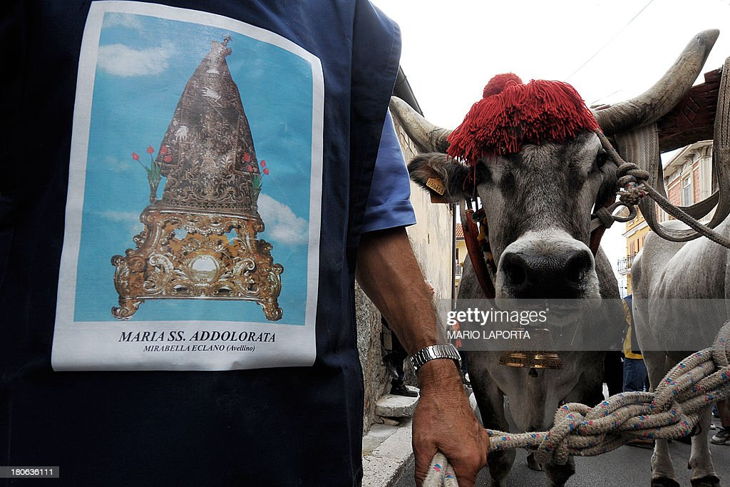 A volunteer walks with the oxen during a procession to carry a 25 meters wheat obelisk build in honor of Madonna Addolorata (Our Lady Of Sorrows) during a farmer festival in Mirabella Eclano, south of Italy on September 14, 2013. The ancient farmer festival (Medium Eve) after 900 years of stop, restart in XVI age to protect the hard work of farmers like religious festival in honour of the Lady Of Sorrows. 12 Oxen carry the obelisk and all the Mirabella Eclano citizens pull the ropes to balance the obelisk during the slow run.