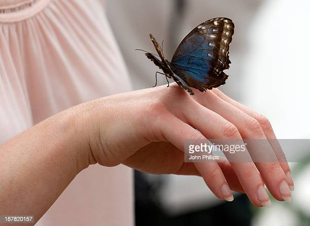 Volunteer With A Blue Morpho Butterfly At The Natural History Museum In London As 600 Hundred Live Butterflies Arrive For The Upcoming Sensational...