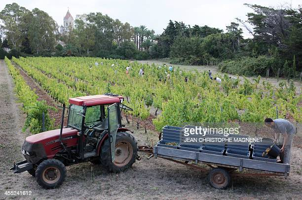 Volunteers and monks of 'Abbaye de Lerins' harvest a vineyard on Agust 26 at the Saint Honorat island in the bay of Cannes southeastern France AFP...