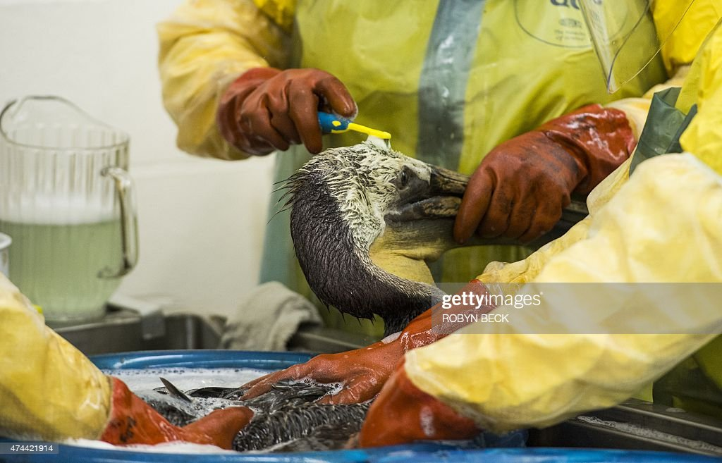 Volunteers and staff of the International Bird Rescue use a toothbrush and soap to clean oil off a brown pelican in the San Pedro area of Los Angeles...