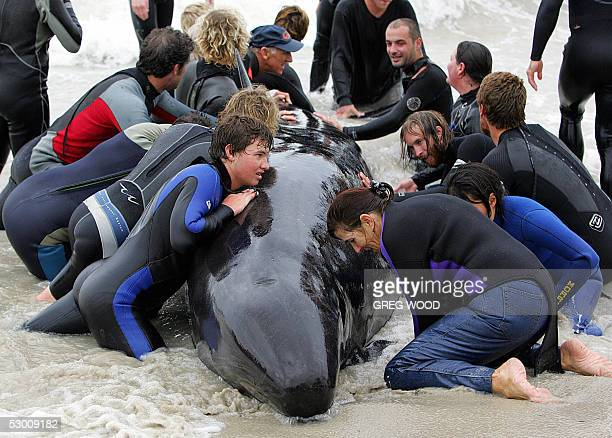 Volunteers desperately try to save one of over 100 false killer whales beached at Dolphin Bay near Busselton 230kms south of Perth 02 June 2005 Many...