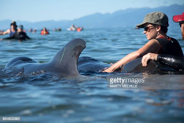 Volunteers guide stranded pilot whales back out to sea during a mass stranding at Farewell Spit on February 11 2017 More than 400 whales were...