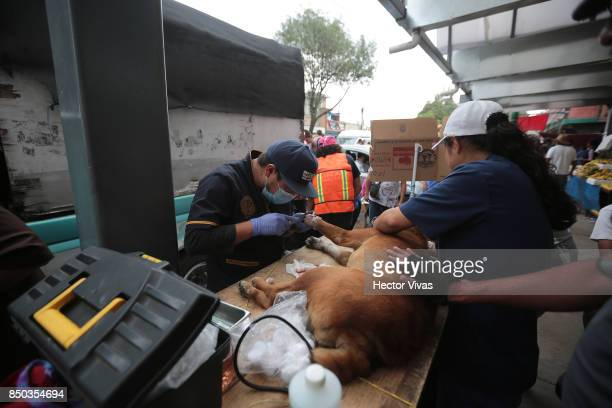 Volunteers heal an injured dog at San Gregorio Atlapulco a day after the magnitude 71 earthquake jolted central Mexico killing more than 200 hundred...