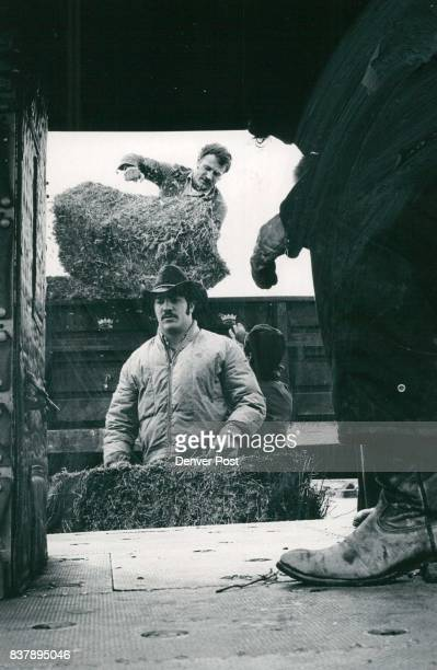 Volunteers move away from truck to one of helicopters ***** stockmen between loads of hay look to the sky hoping for sunshine to rid area of snow and...