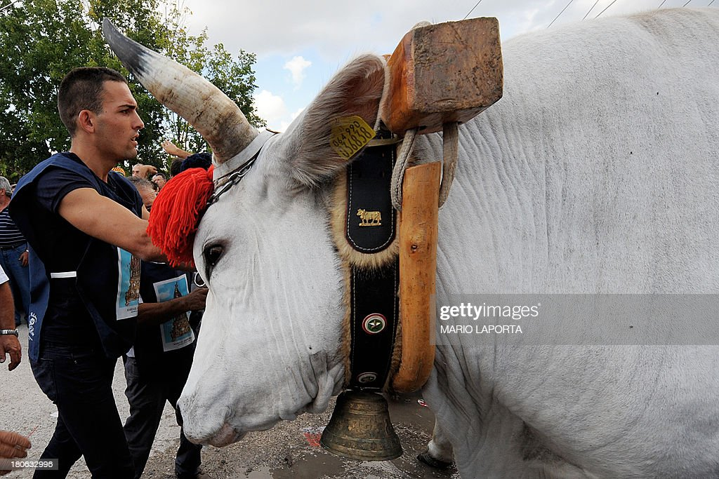 Volunteers prepare the oxen for a procession to carry a 25 meters wheat obelisk build in honor of Madonna Addolorata (Our Lady Of Sorrows) during a farmer festival in Mirabella Eclano, south of Italy on September 14, 2013. The ancient farmer festival (Medium Eve) after 900 years of stop, restart in XVI age to protect the hard work of farmers like religious festival in honour of the Lady Of Sorrows. 12 Oxen carry the obelisk and all the Mirabella Eclano citizens pull the ropes to balance the obelisk during the slow run.