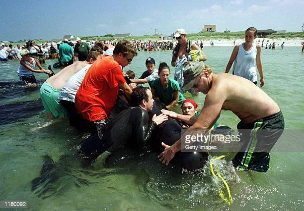 Volunteers try to right a beached pilot whale off Chapin Beach July 29 2002 on Cape Cod in Dennis Massachusetts Nine whales died after 50 stranded...