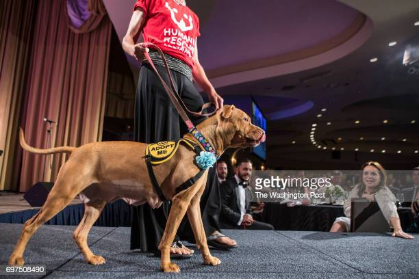 Volunteers walk the runway with one of four fur babies available for adoption at the the Humane Rescue Alliance's Bark Ball