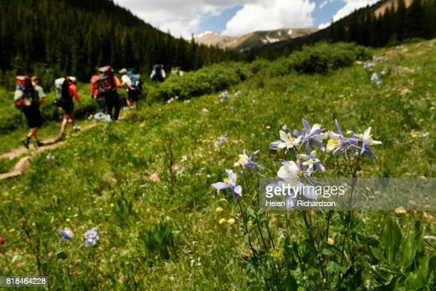 Volunteers with Trout Unlimited carry backpacks full of 18 yearling Greenback Cutthroat in each bag up the Herman Gulch trail on July 17 2017 in...