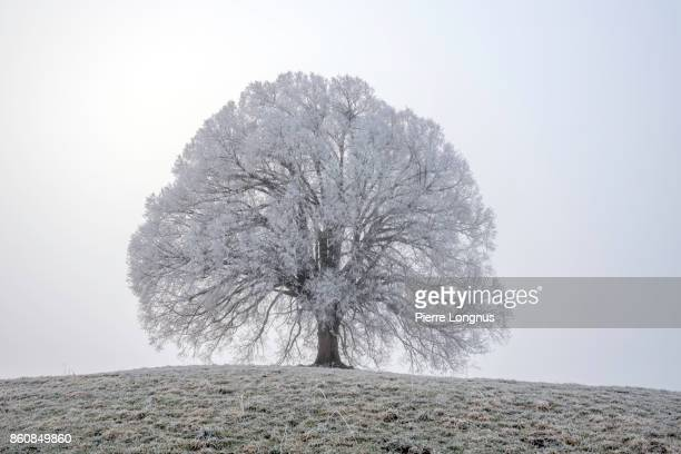 Voluptuous tree covered in frost on the cold winter morning in Gruyere region Near the City of Bulle, Switzerland