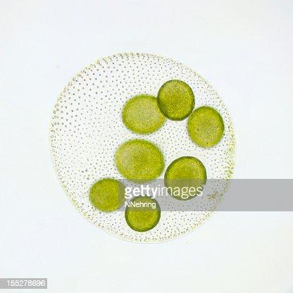 Volvox globator Micrografia
