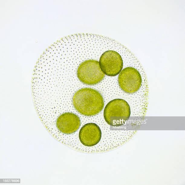 Volvox globator micrograph