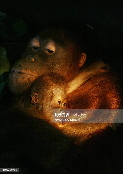 Voni a twelwe year old female orangutan hold her new male baby Zico at Ragunan Zoo in Jakarta 03 January 2008 Zico was born on 29 December 2007 and...