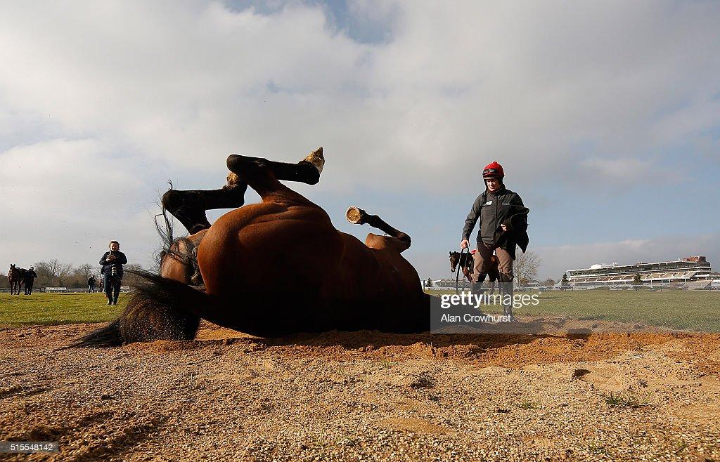 Vroum Vroum Mag enjoys a roll at Cheltenham racecourse on March 14 2016 in Cheltenham England