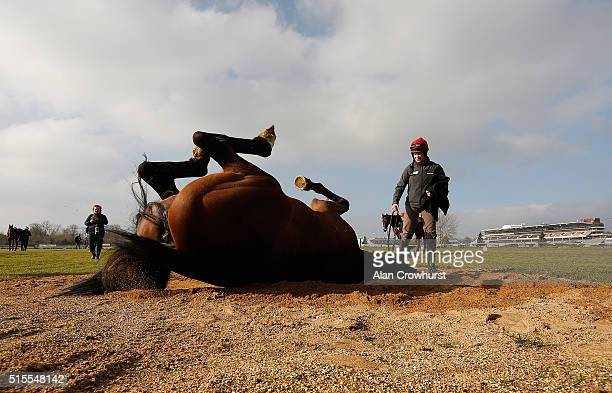 Vroum Vroum Mag enjoys a roll at Cheltenham racecourse on March 14 2016 in Cheltenham England