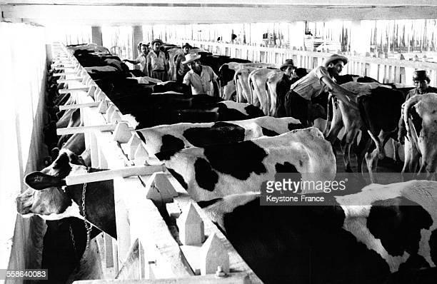 Vue intérieure d'une étable à vaches dans la coopérative de Rosario dans la province de Pinar del Rio à Cuba le 30 mars 1962