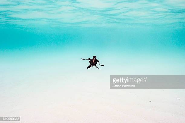 A Vulnerable Green Turtle hatchling swimming through the ocean shallows after hatching.
