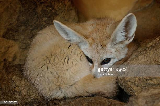 Vulpes Zerda... 'Fennec Fox'