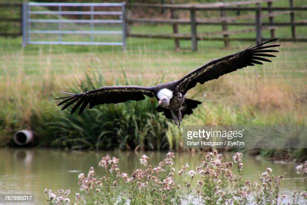 Vulture Flying Over Water