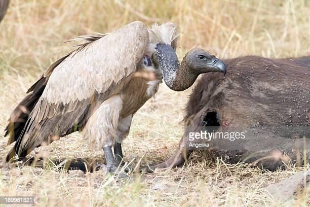 Vulture having a meal, Masai Mara National Park, Kenya