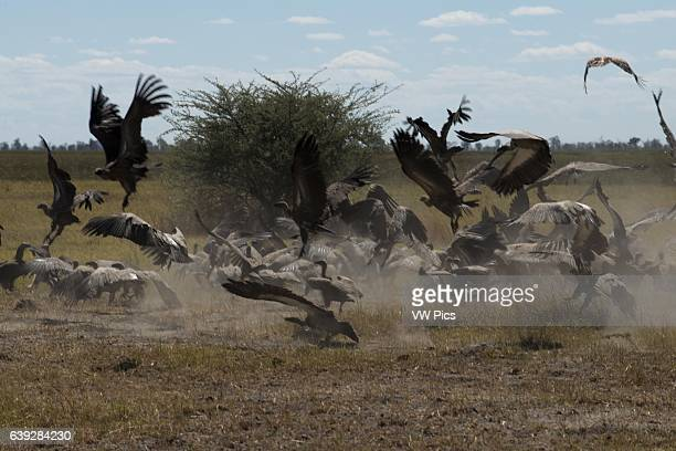 Vulture is the name given to two groups of convergently evolved usually scavenging birds of prey the New World vultures including the Californian and...