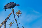 Black Vulture perched on pine tree branch. Panama City, Florida USA