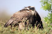 A vulture sits near a carcass on December 11 2007 in the Masai Mara Game Reserve Kenya