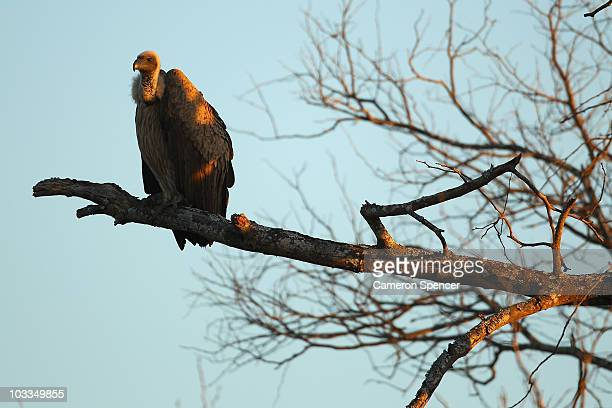 A vulture sits on a branch on July 18 2010 in the Edeni Game Reserve South Africa Edeni is a 21000 acre wilderness area with an abundance of game and...