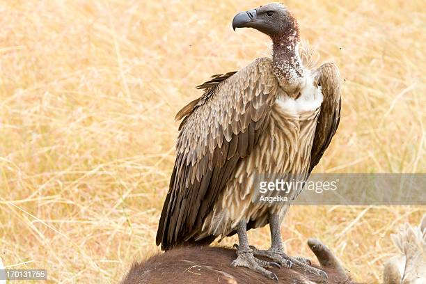 Vulture sitting on dead animal, Masai Mara National Park, Kenya