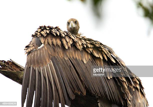 Vulture Stare