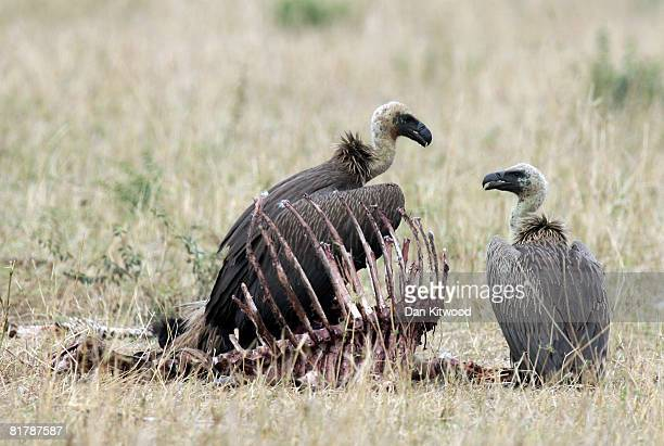 Vultures fight over a carcass on December 10 2007 in the Masai Mara Game Reserve Kenya