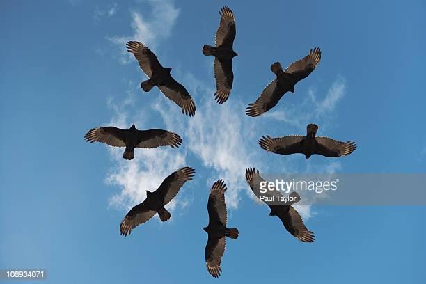 Vultures in Circular Pattern